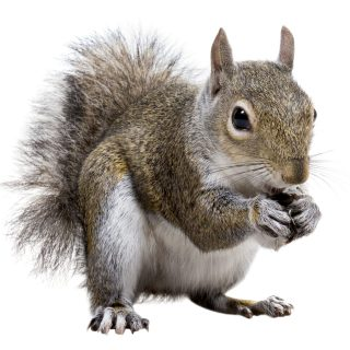 Squirrel Control in Young's End